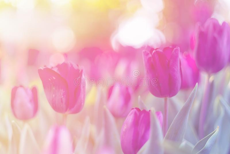 Purpurowy tulipan w ogródzie zdjęcia stock