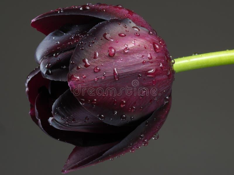 Purpurowy tulipan z podeszczowymi kroplami obraz royalty free