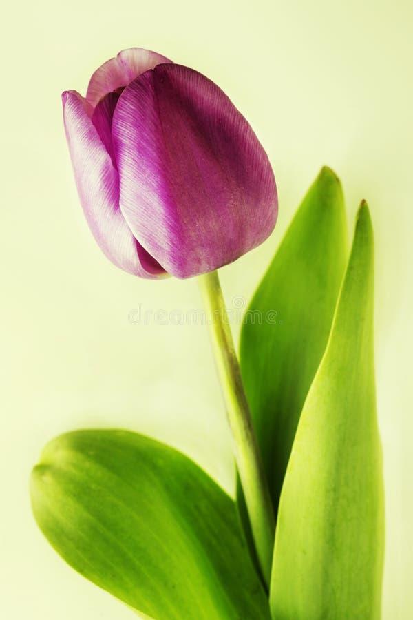 Purpurowy tulipanowy kwiat obraz stock