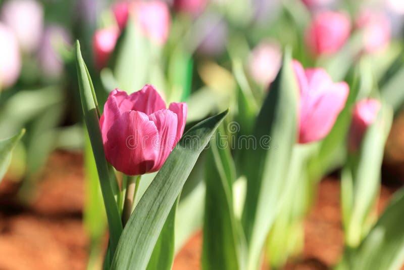 Purpurowy tulipanowy kwiatu światło słoneczne, wiosna ogród zdjęcia stock