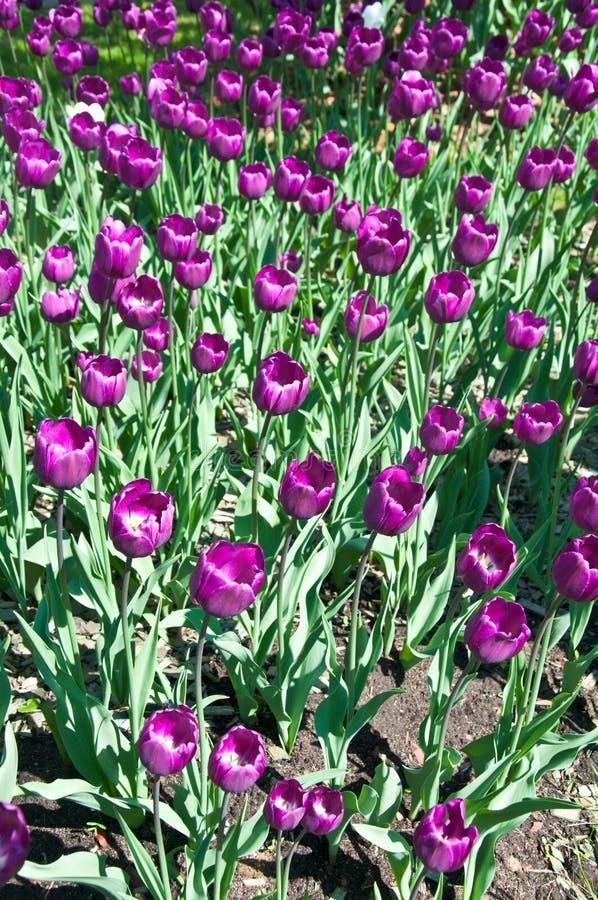 Purpurowy tulipanu pole zdjęcia royalty free