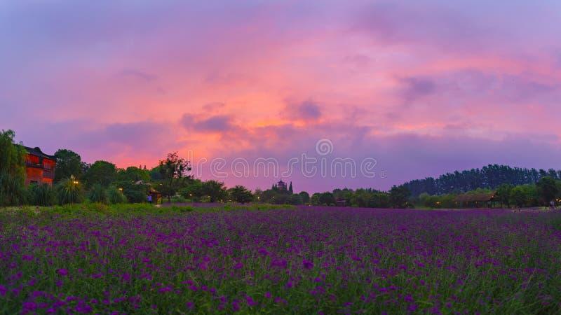 Purpurowy verbena i purpury niebo obrazy stock