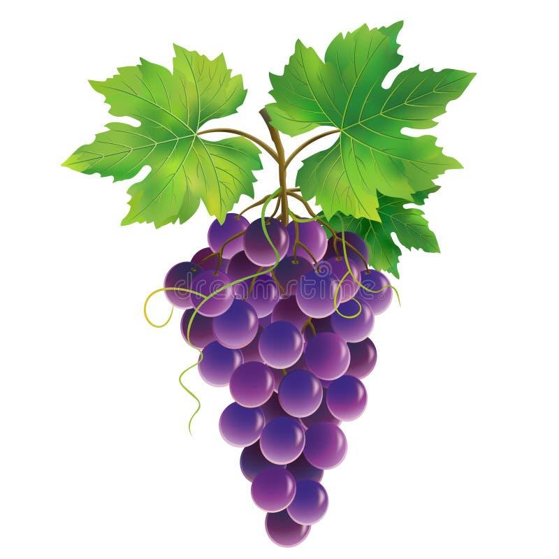 Purpurowy winogrono na białym tle royalty ilustracja