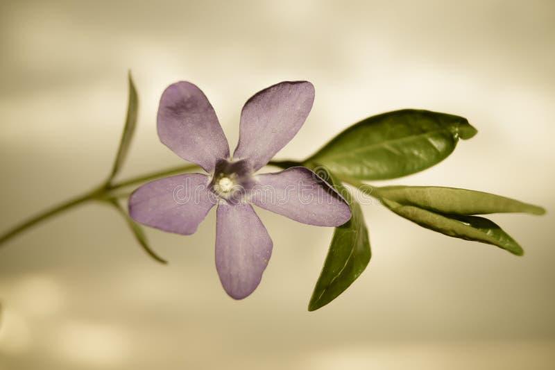 Purpurowy wiosna kwiatu barwinek zdjęcie royalty free