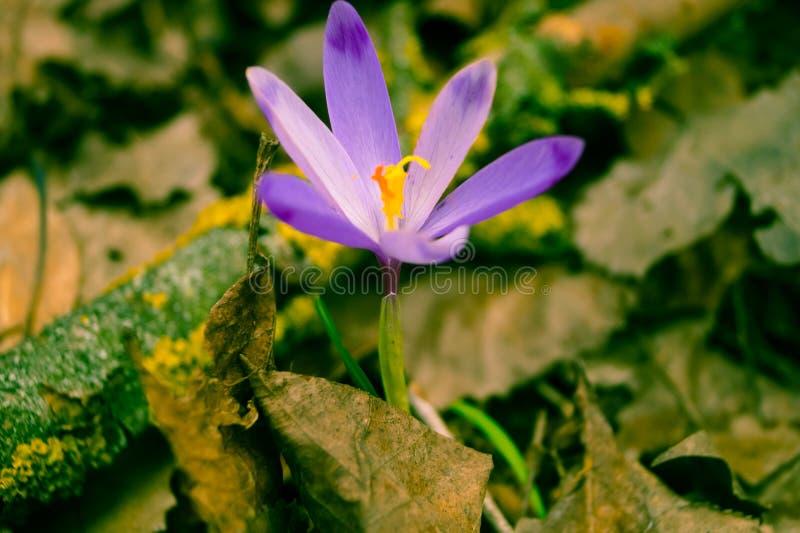 Purpurowy wiosna kwiatu fotografii skutek zdjęcia stock