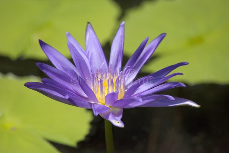 Purpurowy złoto i Zieleni kolory w ten zbliżeniu Wodna leluja Kwitniemy zdjęcia stock
