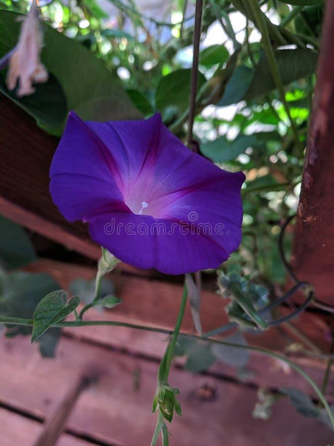 purpurrot lizenzfreie stockfotos
