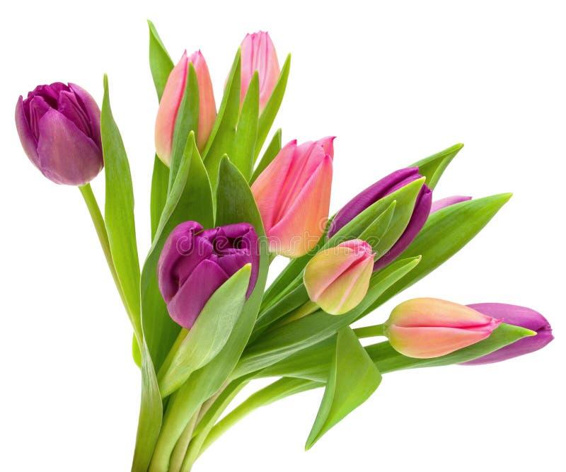 Purpurrot, Rosa und gelbe Tulpenblumen mit grünen Blättern auf dem Stamm lokalisiert auf weißem Hintergrund lizenzfreie stockfotos