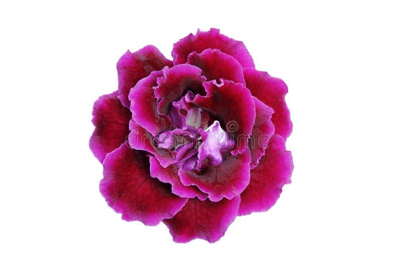 Purpurrot-Rosafarbene Gloxiniablume stockbild