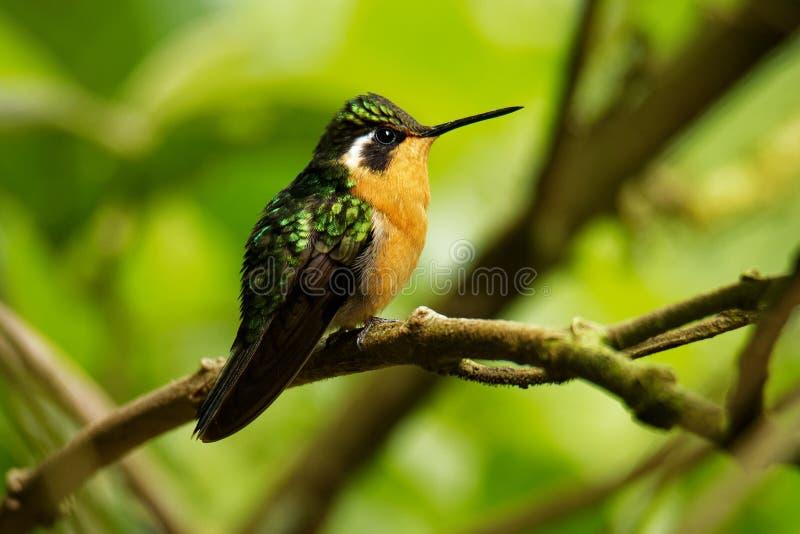 Purpurrot-throated Berg-Edelstein - Lampornis-calolaemus ein Kolibri, der in den Bergen von Süd-Nicaragua, Costa Rica züchtet stockfoto