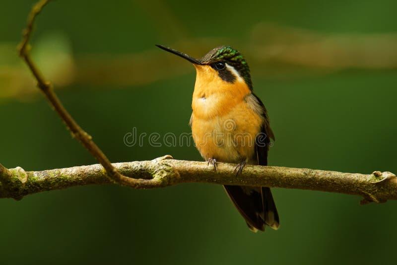Purpurrot-throated Berg-Edelstein - Lampornis-calolaemus ein Kolibri, der in den Bergen von S?d-Nicaragua, Costa Rica z?chtet stockfotografie