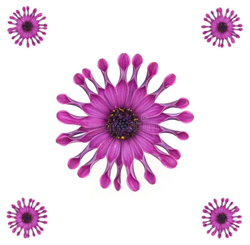 Purpurrote afrikanisches Gänseblümchen-Auslegung stockbild