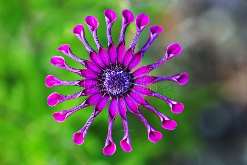 Purpurrote afrikanisches Gänseblümchen- oder Osteospermum-Blume gegen natürlichen grünen Hintergrund stockfotografie