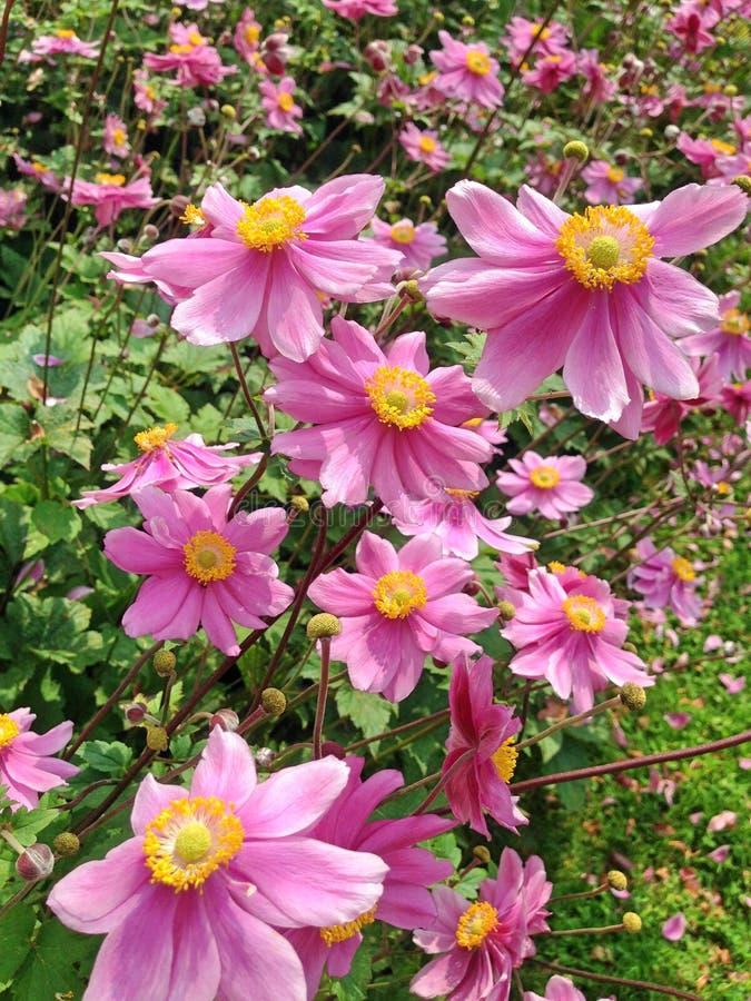 Purpurrote Anemone Hupehensis Japonica-Blumen stockfoto