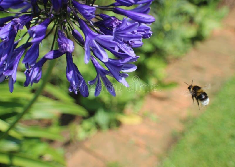 Purpurrote Anlage mit Nahaufnahme der Biene stockbilder