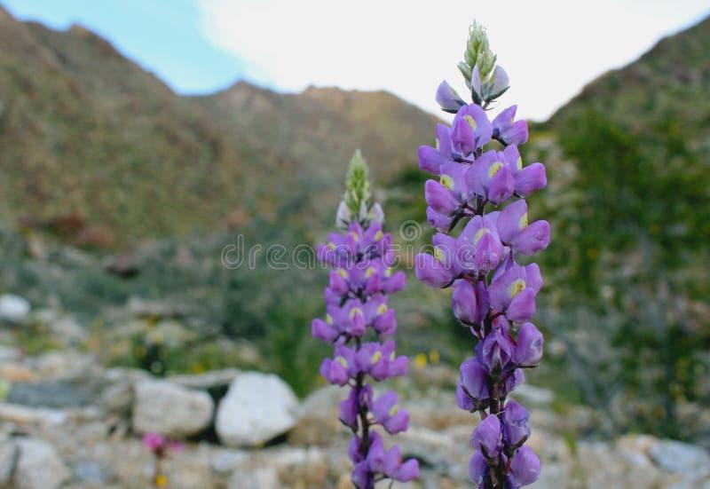 Purpurrote Arizona-Lupines und der blaue Himmel, Wüsten-Nationalpark Anza Borrego lizenzfreies stockfoto
