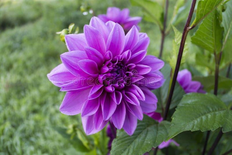 Purpurrote Aster der Gartenblume auf unscharfem grünem Hintergrund stockfotografie
