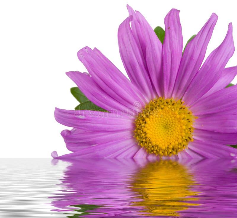 Purpurrote Aster im Wasser lizenzfreie stockfotos