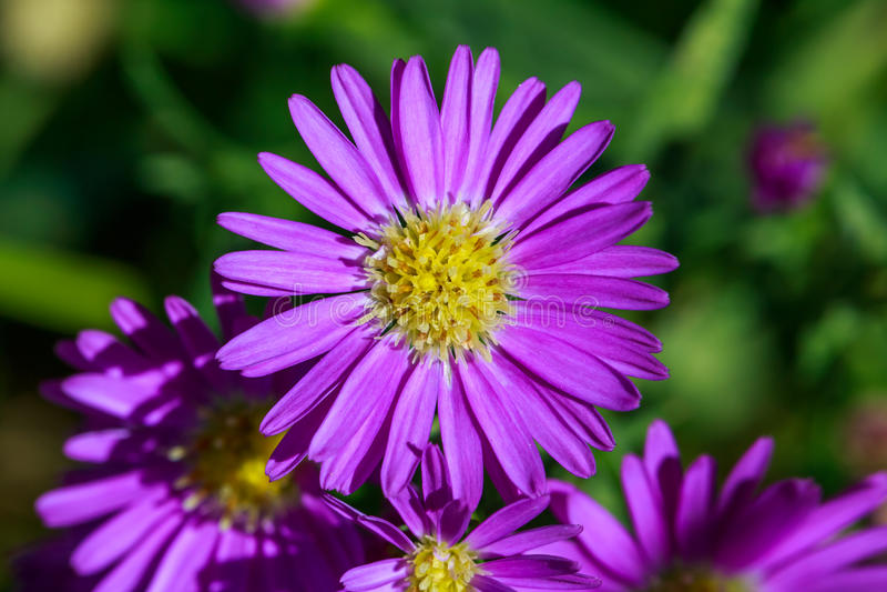 Purpurrote Asterblume lizenzfreie stockfotografie