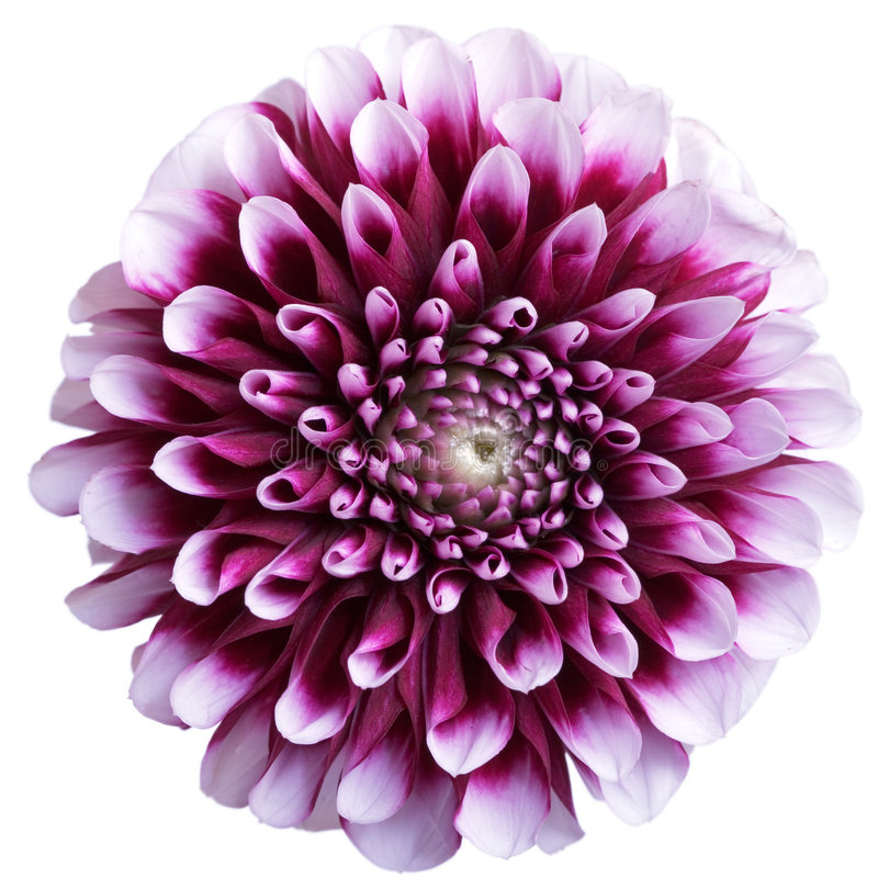Purpurrote Asterblume auf Weiß lizenzfreie stockbilder