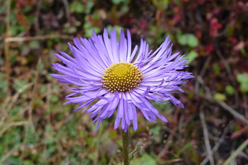 Purpurrote Asterblume in Namche-Basar, Wanderung niedrigen Lagers Everest, Nepal stockfoto
