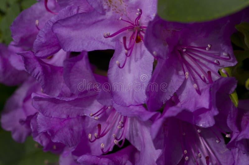 Purpurrote Azalee stockbilder