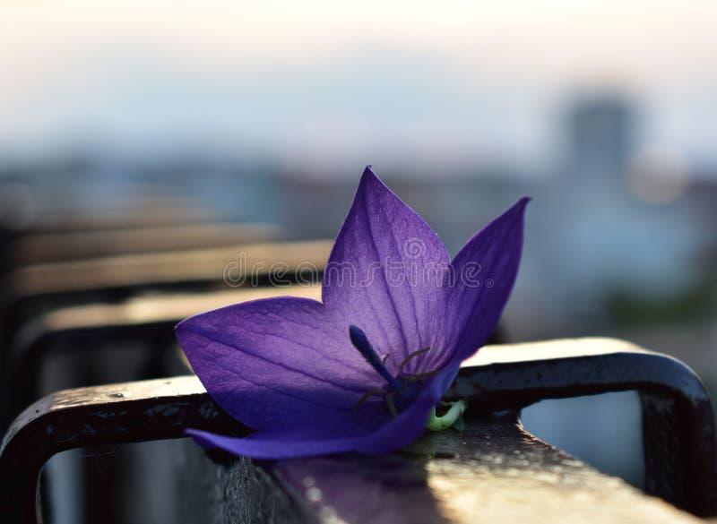 Purpurrote Ballonblume, die auf dem Zaun liegt lizenzfreie stockfotografie