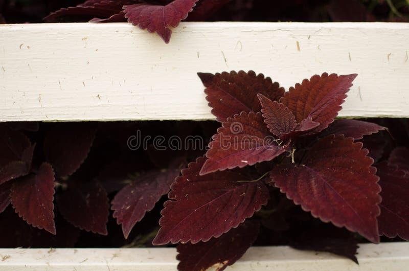 Purpurrote Blätter stockfoto