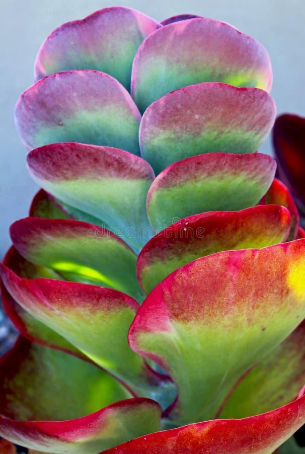 Purpurrote Blätter der Paddelanlage, Flapjacks, Wüstenkohl, Kalanchoe-thyrsiflora stockfotos