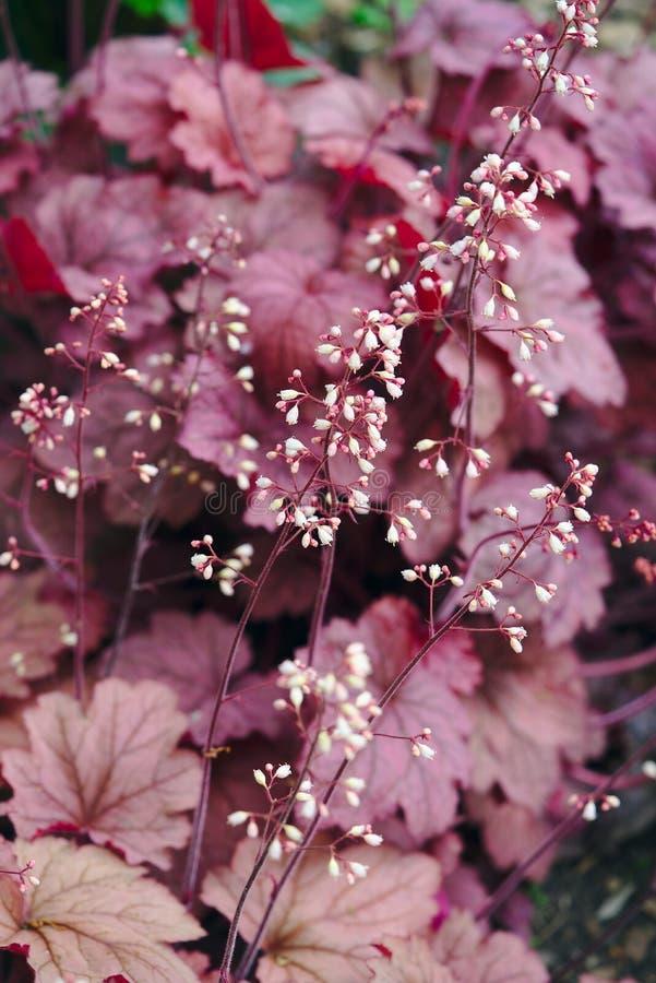 Purpurrote Blätter und Blumen von Heuchere-Heuchera lizenzfreies stockbild