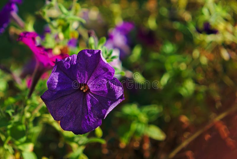 Purpurrote blühende Blume lizenzfreie stockfotos