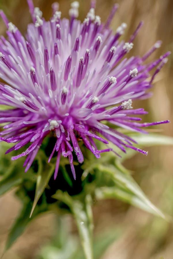 Purpurrote blühende Blume in der Landschaft lizenzfreie stockfotos