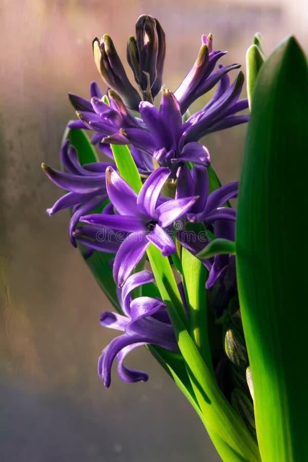 Purpurrote blühende Hyazinthe lizenzfreie stockfotos