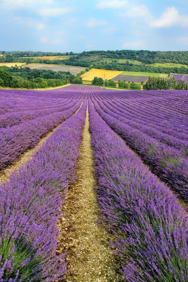 Purpurrote blühende Lavendelfelder in der englischen Landschaft stockbilder