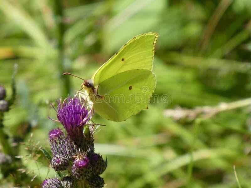 Purpurrote Blüte des gelben Schwefelsschmetterlinges einer Distel lizenzfreie stockfotos