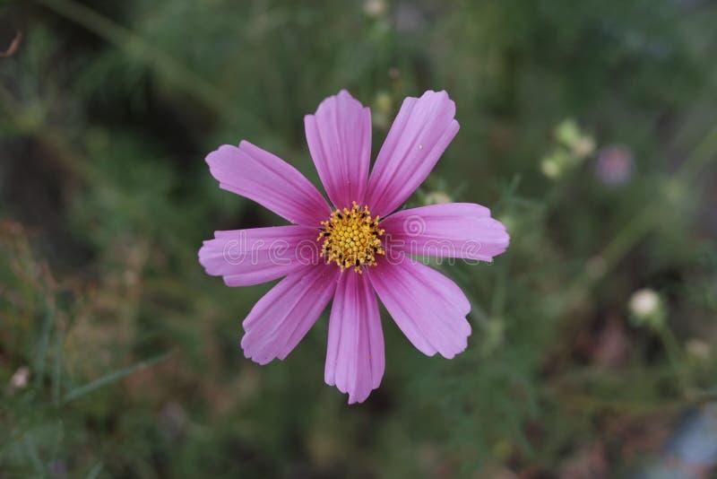 Purpurrote Blüte mit dem Blütenstaub stockbild