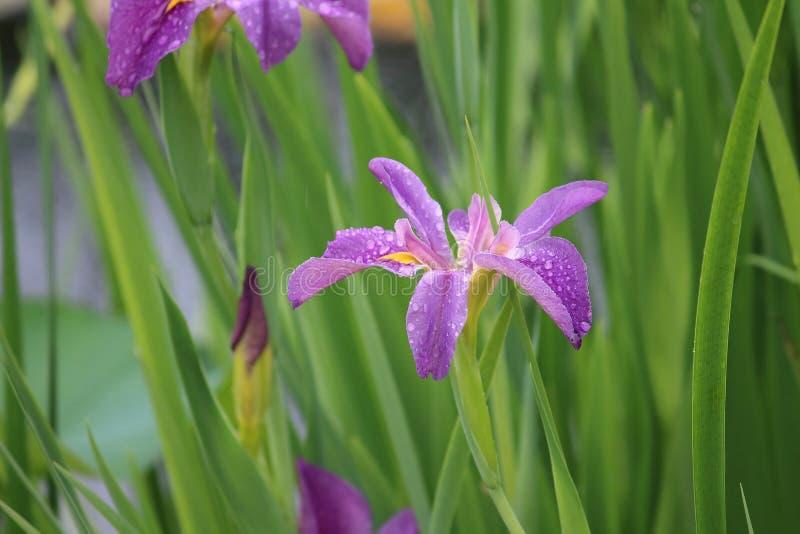 Purpurrote Blüte nach dem Regen lizenzfreies stockfoto