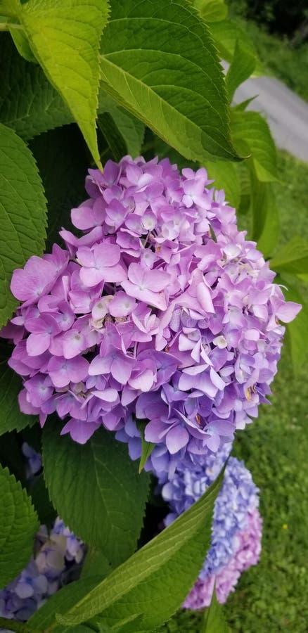 Purpurrote blaue Hortensie zwei klar lizenzfreies stockbild