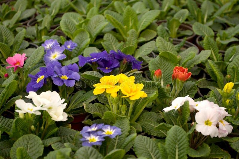 Winterharte Blumen Die Lange Blühen. Blumen Und Stauden Im