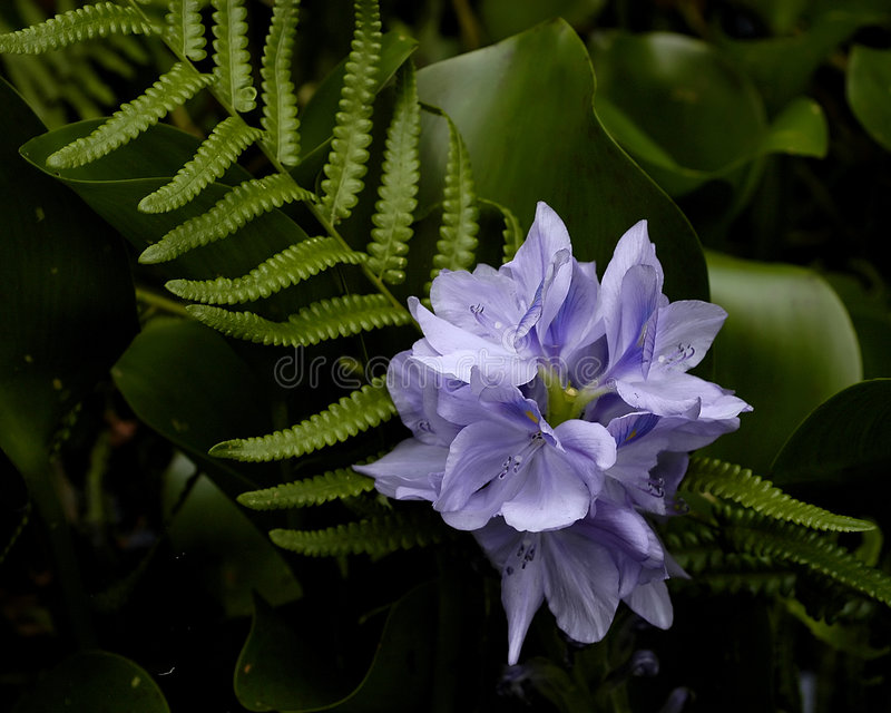 Download Purpurrote Blume stockfoto. Bild von schön, blüte, purpurrot - 154434