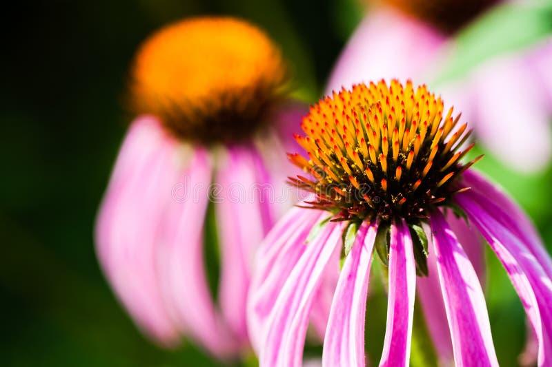 Purpurrote Blume lizenzfreie stockfotos