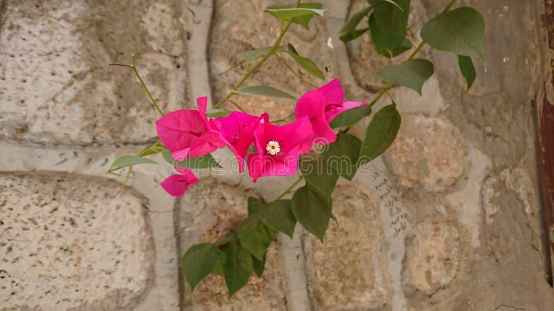 Purpurrote Blume auf Steinwand stockfoto