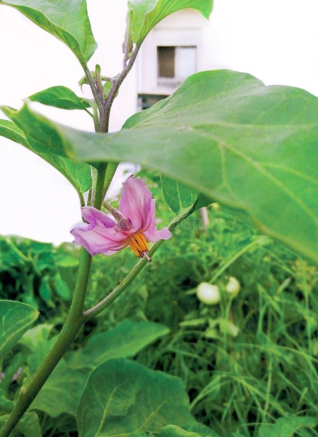 Purpurrote Blume der blühenden Aubergine, der grünen Blätter, der Kräuter und der Tomaten im Gemüsegarten stockbilder