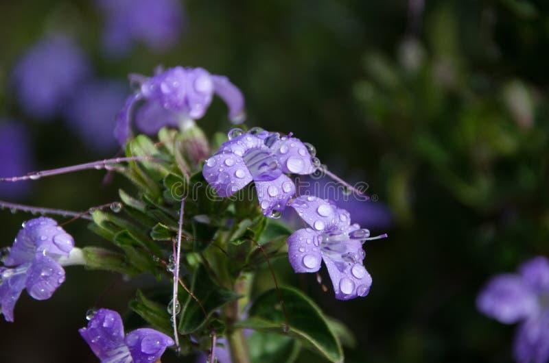Purpurrote Blume in der Blüte lizenzfreies stockfoto