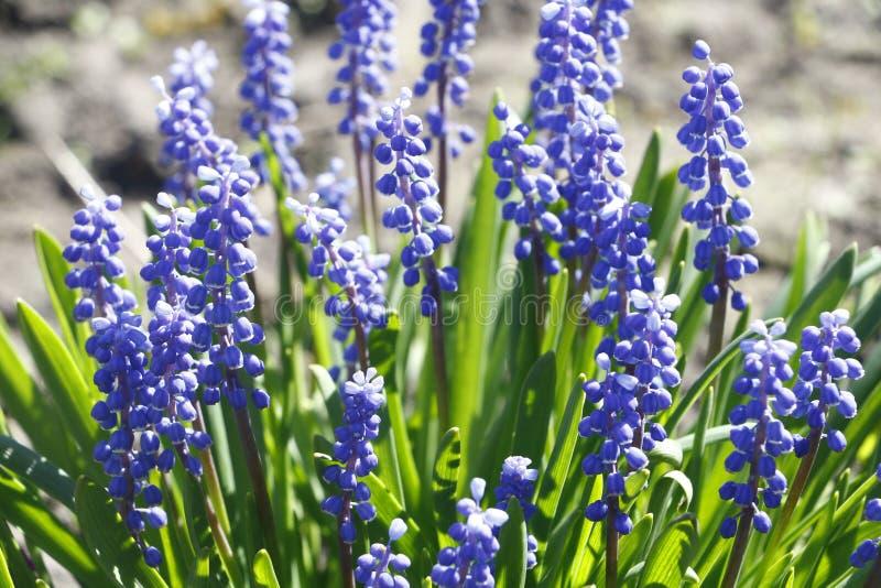 Purpurrote Blume des schönen Frühlinges mit wunderbarem Geruch stockfotografie