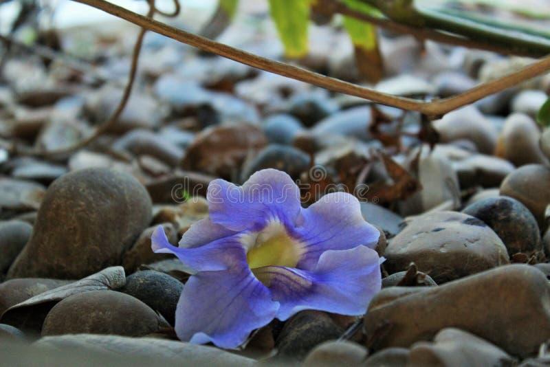 Purpurrote Blume, die auf Steinboden, Herbstsaison liegt stockbild