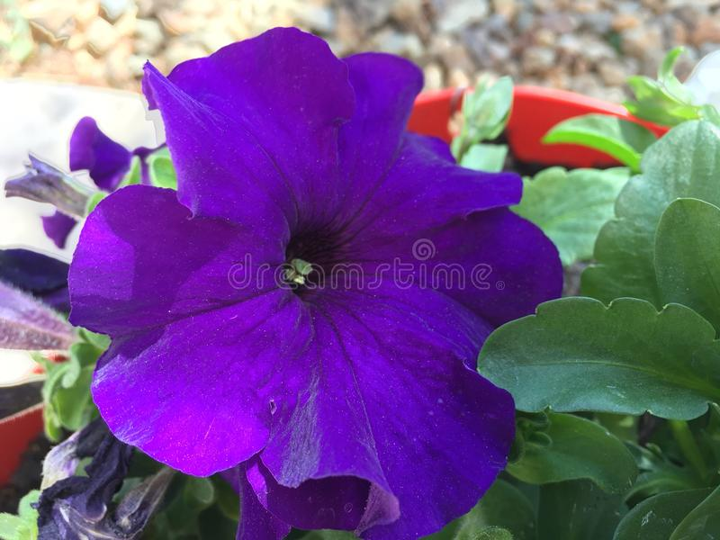 Purpurrote Blume, die im Garten blüht lizenzfreie stockfotos