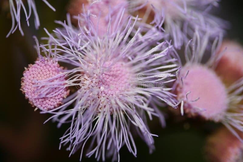 Purpurrote Blume, die wie Anemone aussieht stockfotos