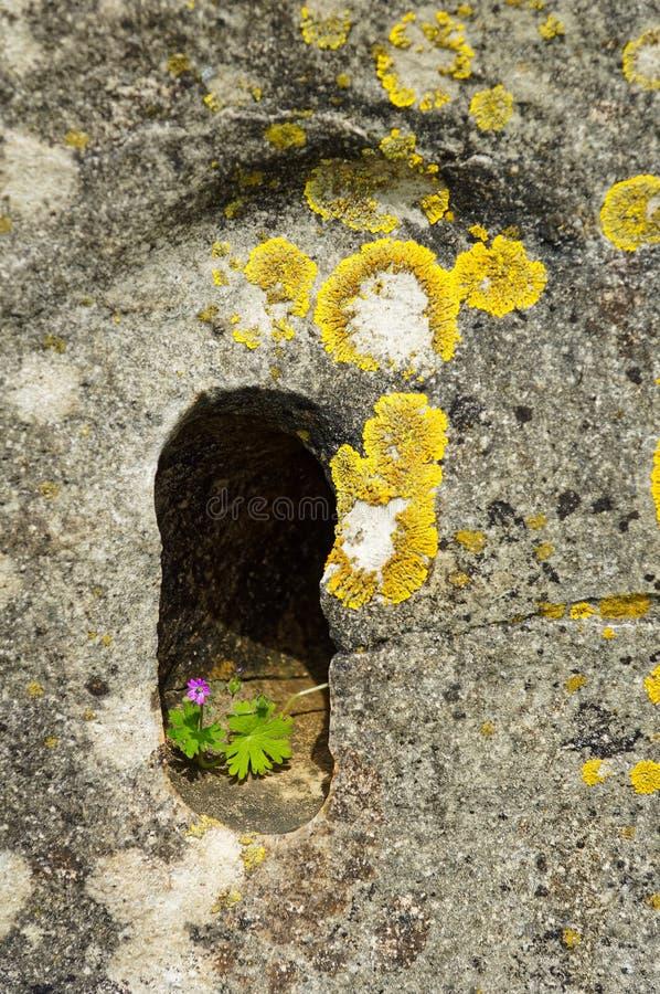 Purpurrote Blume, ein Leben heraus mühsam erarbeitend lizenzfreies stockbild
