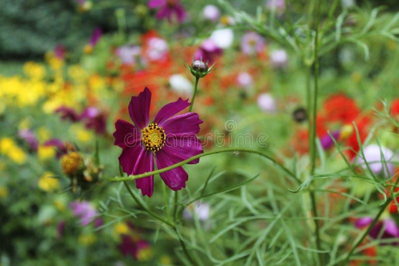 Purpurrote Blume in einem Blumenbeet lizenzfreies stockfoto